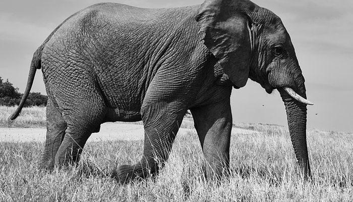 Berkah Rawi Muwaththa' yang Tidak Mau Melihat Gajah