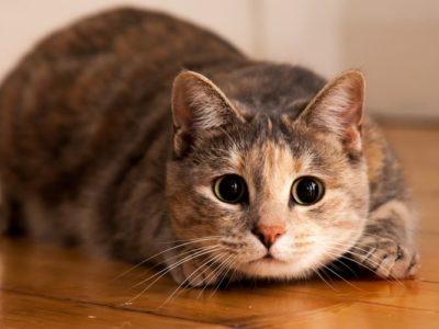 Saat Imam Syafi'i Cerita Kucing yang Diperebutkan dan Buat Geger Masyarakat
